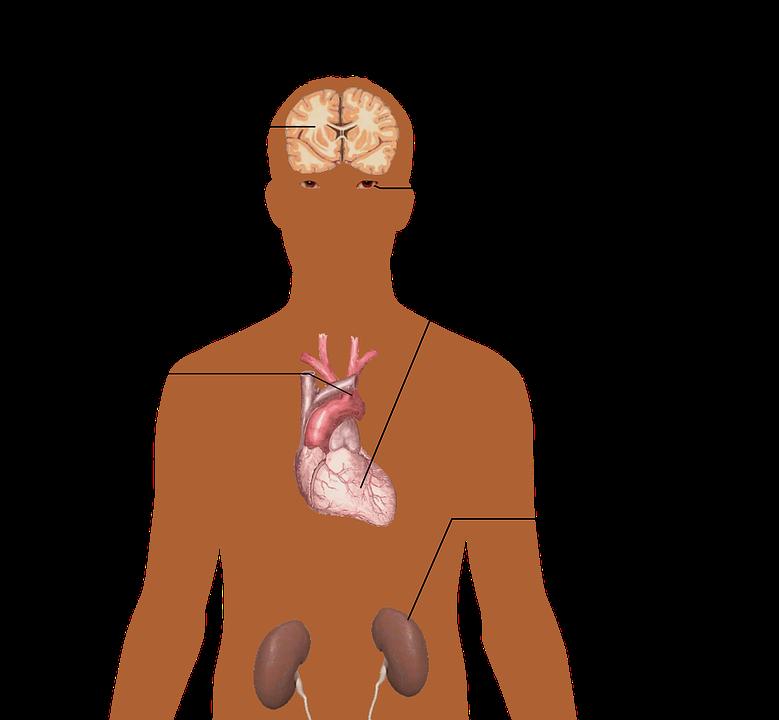 the-human-body-1279987_960_720